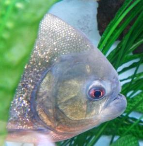 Boutique South America Amazon Piranha