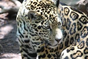Boutique South America Wildlife Jaguar