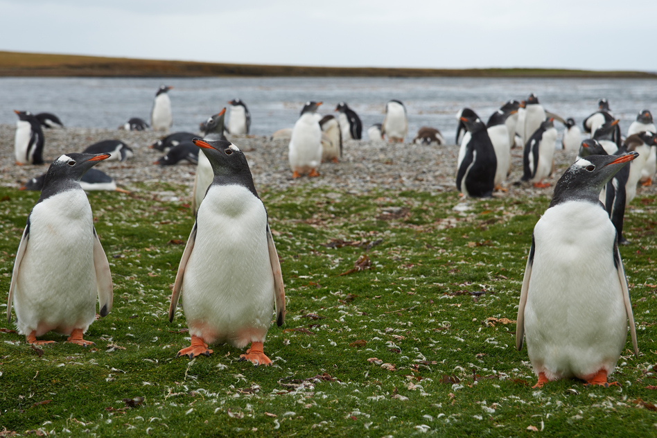 gentoo-penguins-falkland-islands-south-america-travel